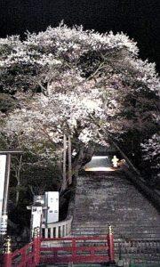 栃木の自然:慈光寺(赤門)のヒガンザクラ(2019)