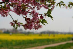 栃木の自然:権現堂の桜堤(県外編)菜の花とのコラボが絶景