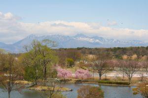 栃木の自然:那珂川河畔公園と黒磯公園の桜ダブル