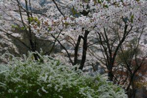 栃木の自然:足尾の桜はGW