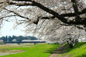 栃木の自然:壬生東雲公園の桜