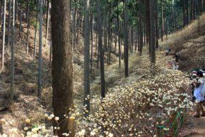 栃木の自然:茂木町焼森山のミツマタは幻想的2019版