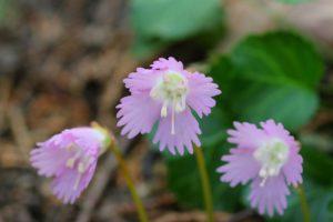 栃木の自然:富山のイワウチワ