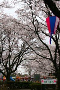 栃木の自然:かしの森公園桜まつり