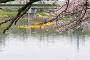 栃木の自然:埼玉県蓮田市元荒川の桜まつり(近県編)