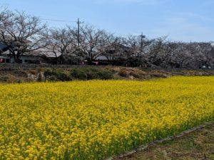栃木の自然:真岡市桜町千本桜