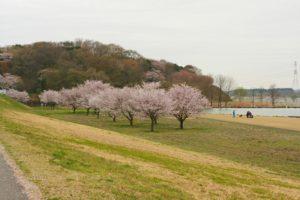 栃木の自然:さくら市鬼怒川河川敷の桜