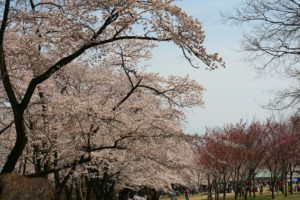 栃木の自然:赤城の千本桜(近県編)