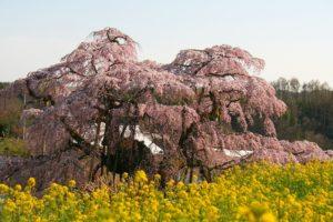 栃木の自然:三春の滝桜は神秘の桜(県外編)