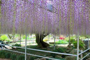 栃木の自然:上籠谷町のフジ(藤)樹齢は百年を越える