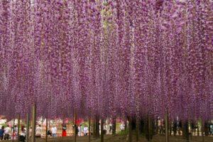 栃木の自然:あしかがフラワーパークの大藤