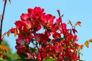 栃木の自然:井頭公園のバラ園