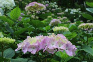 栃木の自然:鷲子山神社はアジサイ神社