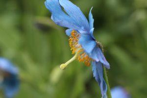 栃木の自然:上三依水生植物園ヒマラヤの青いケシとクリンソウ満開
