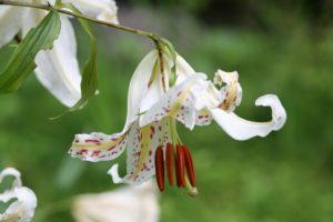 栃木の自然:日光だいや川公園のヤマユリ