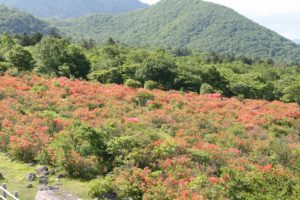 栃木の自然:八方ヶ原のツツジ満開