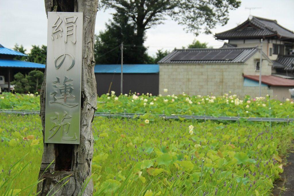 栃木の自然:「絹の蓮苑」は絶滅危惧種ミズアオイも咲く