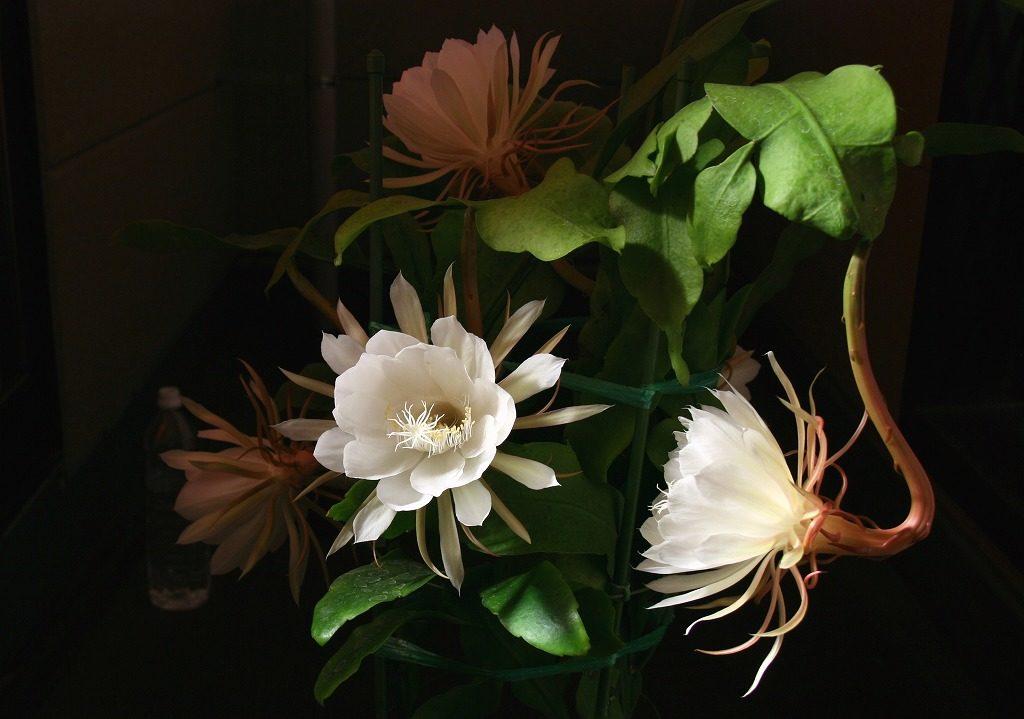 月下美人:月の下で一晩咲く美しい花
