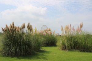 茨城の自然:緑のコキアの丘が素敵です。