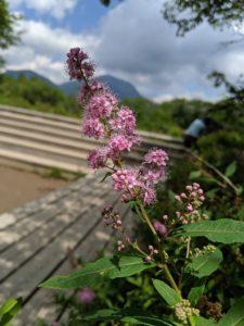 栃木の自然:ホザキシモツケ満開の戦場ヶ原