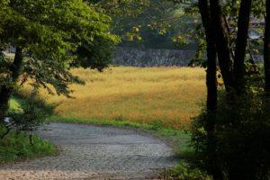 栃木の自然:宇都宮市美術館近くのキバナコスモス