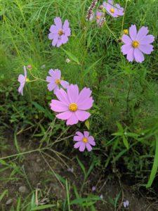 栃木の自然:宝積寺グリーンパークのコスモス開花2019