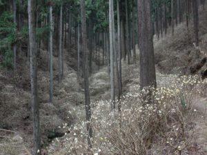 栃木の自然:茂木町ミツマタ群生地まもなく開花(2021)