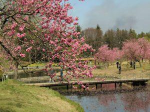 茨城の自然:古河総合公園の花桃が素敵でした