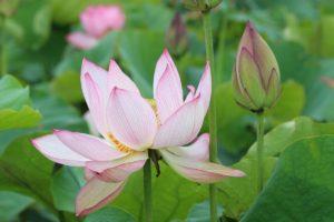 栃木の自然:2020都賀の里ハス祭りは中止です。