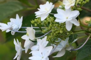 栃木の自然:磯山神社のアジサイ2020