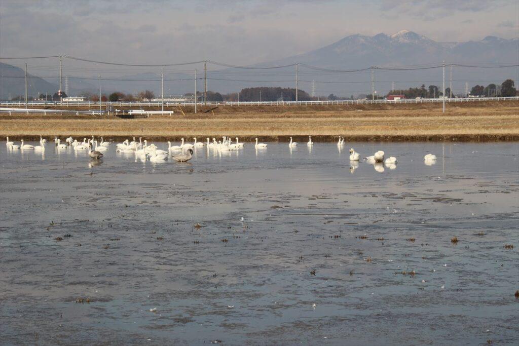栃木の自然:宇都宮市下ケ橋の白鳥