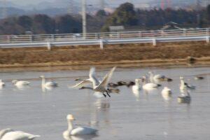 栃木の自然:宇都宮市下ケ橋「さげはし」の白鳥