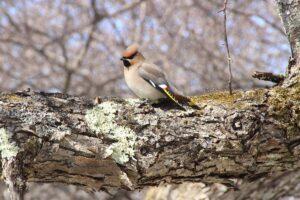 栃木の自然:戦場ヶ原のズミの森は野鳥の楽園