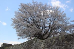 栃木の名所:白河の小峰城跡の桜がいい